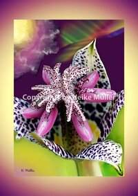 Colour Orchid